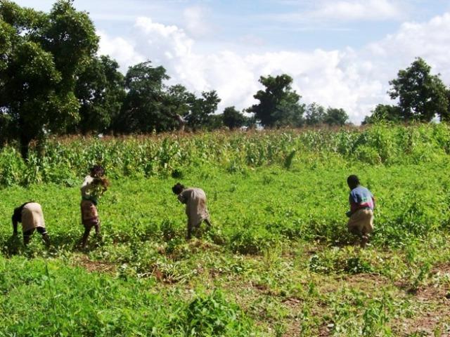 Les plus jeunes de Saïdou récoltent les arachides